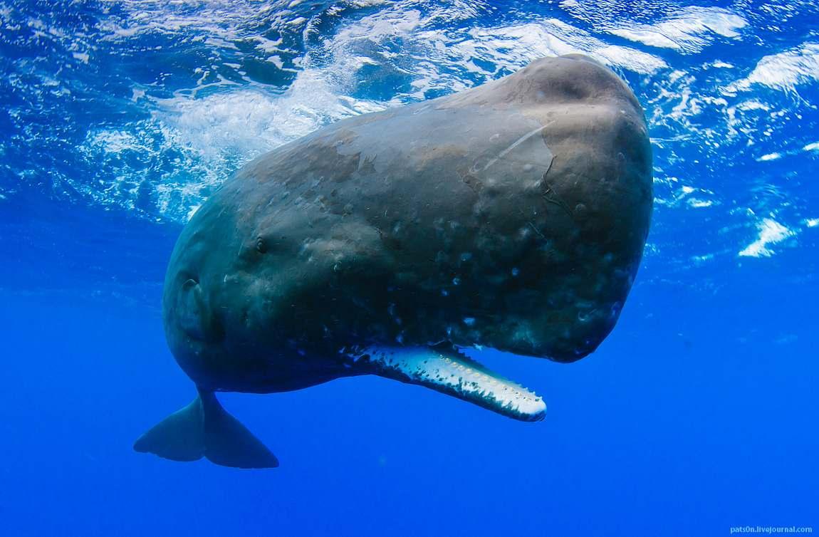 Dingo reccomend Sperm whale classification
