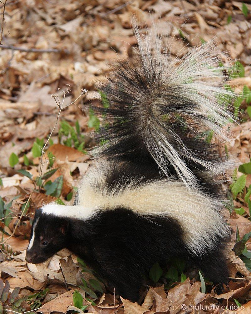 Striped skunk winter source for food