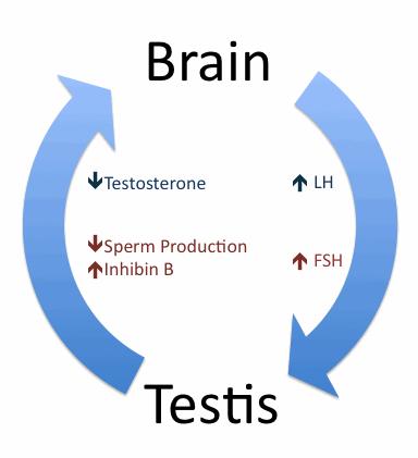Testosterone estrogen men sperm