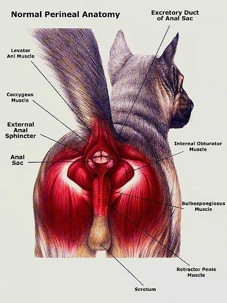 Squeeze anal gland