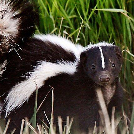 Flurry reccomend Striped skunk winter source for food