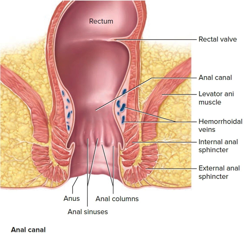 Internal anal sphincter image