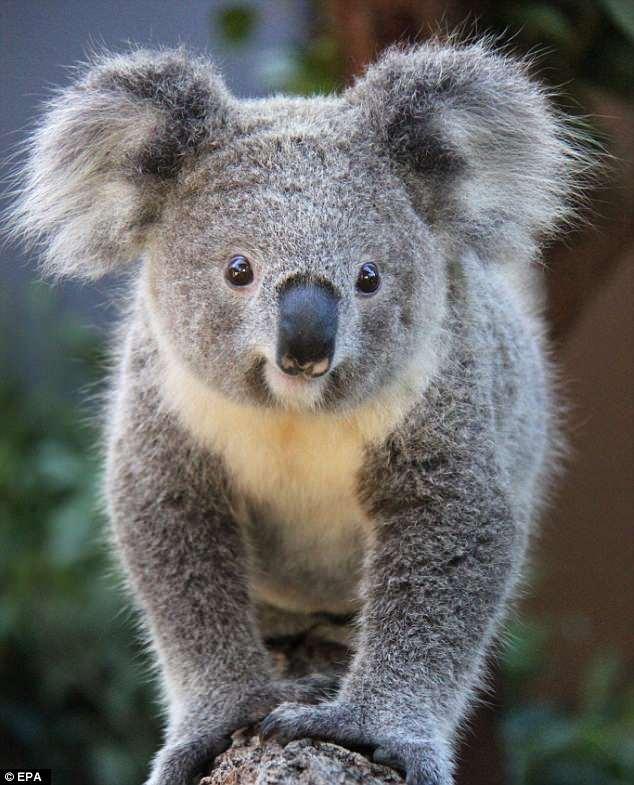 Foul P. reccomend Koala overview teen tube