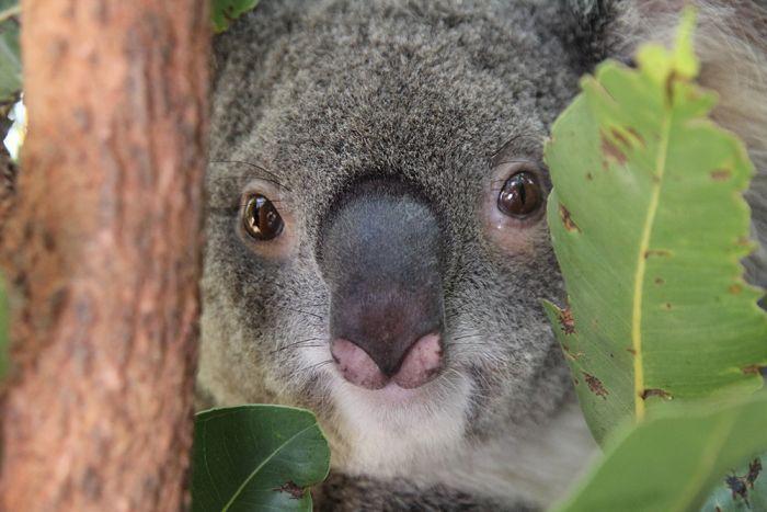 Devil reccomend Koala overview teen tube