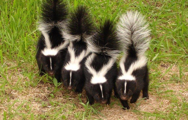 Junk reccomend Striped skunk winter source for food