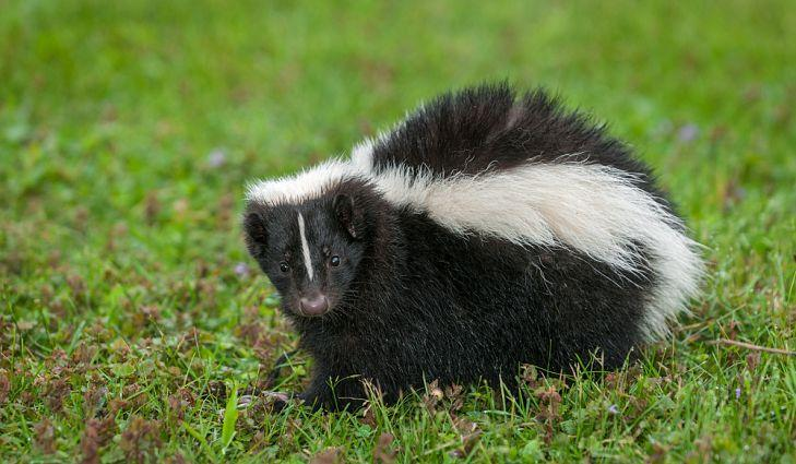 Missy reccomend Striped skunk winter source for food